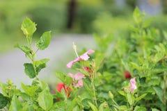 在自然天时间的红色木槿花 库存照片