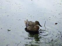 在自然情况的野鸭 在湖的野鸭 库存照片