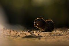 在自然捷克共和国的灰鼠 免版税图库摄影