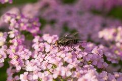 在自然本底的一棵beautifu桃红色庭院欧蓍草 充满活力的夏天风景 库存图片