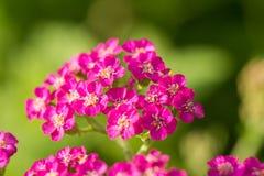 在自然本底的一棵beautifu桃红色庭院欧蓍草 充满活力的夏天风景 免版税库存照片