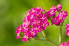 在自然本底的一棵beautifu桃红色庭院欧蓍草 充满活力的夏天风景 免版税库存图片