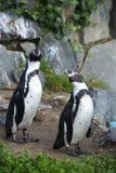 在自然本底的两只企鹅 免版税库存照片