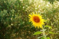 在自然本底的向日葵 域l向日葵 生长在庭院里的一个开花的开花的黄色向日葵 免版税图库摄影