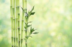 在自然本底的幸运的竹子 免版税库存图片