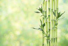 在自然本底的幸运的竹子 库存图片