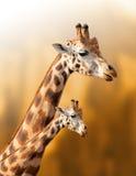 在自然本底的母亲和小长颈鹿 免版税库存图片