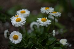 在自然本底的白色春黄菊 背景细部图花卉向量 开花通配 夏天背景 春天开花背景 库存照片