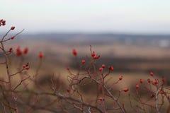 在自然本底的美丽的山楂树 免版税库存照片
