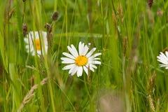 在自然本底的美丽的雏菊 免版税库存图片