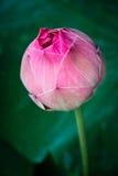 在自然本底的莲花从泰国 库存图片