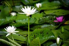 在自然本底的莲花从泰国 库存照片