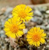 在自然本底的黄色coltsfoots在春天 库存图片