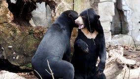 在自然栖所战斗的两头马来亚熊 美好的更小的种类熊 股票录像