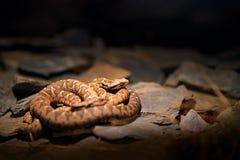 在自然栖所晃动蛇蝎, Montivipera xanthina,无背长椅沿海蛇蝎 从自然的野生生物场面 在落矶山脉hab的蛇 免版税库存图片