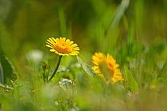 在自然模糊的背景的黄色春黄菊或金黄延命菊花 库存照片
