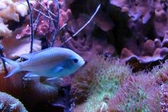 在自然海珊瑚礁的蓝色发光的鱼 免版税库存图片