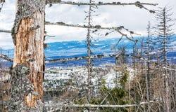 在自然灾害在高Tatras山, Sl以后的死的树 免版税图库摄影