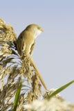 在自然生态环境/Panurus biarmicus的有胡子的山雀 免版税库存照片