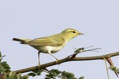 在自然生态环境/Phylloscopus sibilatrix的森莺 库存照片