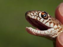 在自然生态环境& x28的蛇; Dolichophis caspius& x29; 免版税库存图片