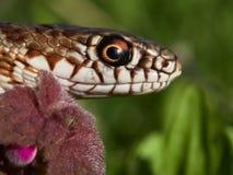 在自然生态环境& x28的蛇; Dolichophis caspius& x29; 库存照片