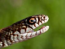 在自然生态环境Dolichophis caspius的蛇 免版税库存图片