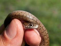 在自然生态环境Dolichophis caspius的蛇 库存图片