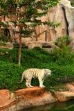 在自然的一只老虎在动物园 图库摄影