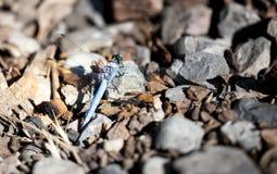 在自然的一只蓝色蜻蜓 库存图片