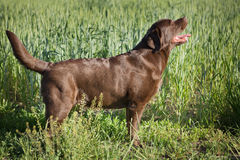 在自然的一条棕色拉布拉多狗 免版税库存照片