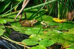 在自然的两只青蛙 免版税库存照片