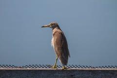 在自然的中国池塘苍鹭 库存照片