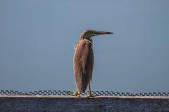 在自然的中国池塘苍鹭 免版税库存照片