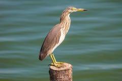 在自然的中国池塘苍鹭 库存图片