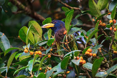 在自然的伟大的热带巨嘴鸟 库存照片