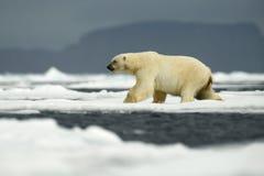 在自然的北极熊 大极性在北极斯瓦尔巴特群岛,挪威涉及与雪的流冰边缘水 库存图片