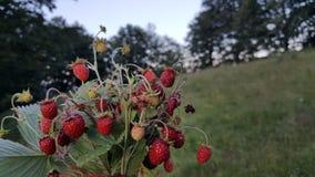 在自然的可口草莓 库存照片