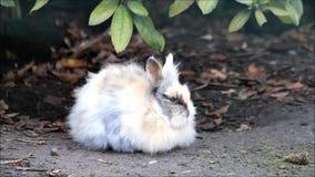 在自然的复活节兔子 股票录像