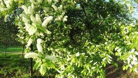 在自然的开花的茉莉花 影视素材