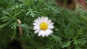 在自然的开花的雏菊花