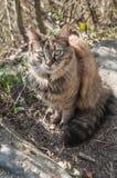 在自然的挪威猫 库存图片