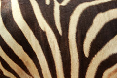 在自然的斑马背景 免版税库存图片