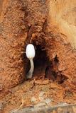 在自然的新鲜的蘑菇 图库摄影