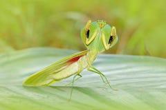 在自然的昆虫猎人 叶子Mantid, Choeradodis rhombicollis,从厄瓜多尔的昆虫 与狂放的美好的平衡的后面光 库存照片