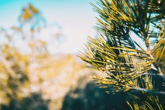在自然的杉木针 库存照片