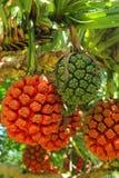 在自然的棕榈果子 免版税图库摄影