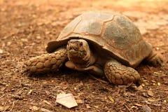 在自然的爬行的草龟 库存照片