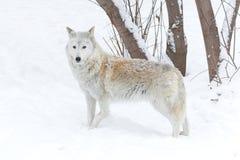 在自然的狼冬天 免版税库存图片
