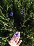 在自然的矢车菊 免版税库存照片